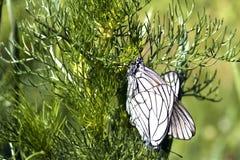 Deux papillons blancs Photos stock