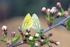 Deux papillons dans le blanc et le jaune se reposent ensemble sur une branche se développante Images stock