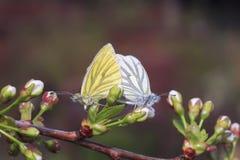 Deux papillons dans le blanc et le jaune se reposent ensemble sur une branche se développante Photographie stock