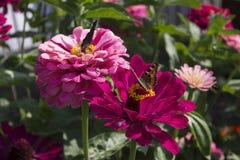 Deux papillons et x28 ; Urticae& x29 d'Aglais ; sur les fleurs de l'aster Photographie stock libre de droits