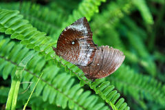 Deux papillons sur la lame de l'herbe dans la forêt tropicale Images stock