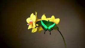 Deux papillons tropicaux sur une fleur banque de vidéos