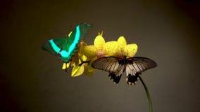 Deux papillons tropicaux sur une fleur clips vidéos