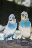Deux parakeets Image stock