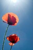 Deux pavots avec le soleil d'été Image stock