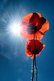 Deux pavots avec le soleil d'été Photos libres de droits