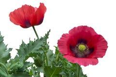 Deux pavots rouges avec des feuilles d'isolement sur un fond blanc Image stock