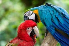 Deux perroquets Photo libre de droits