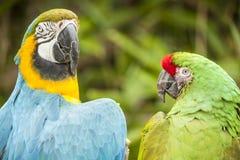 Deux perroquets photographie stock