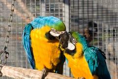 Deux perroquets affectueux Photos libres de droits