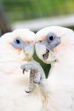 Deux perroquets blancs se caressant images libres de droits