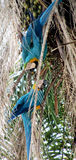 Deux perroquets bleus d'arums sur la paume Photo stock