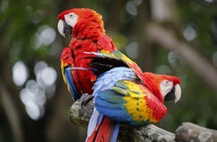 Deux perroquets dans le zoo du Malacca photographie stock