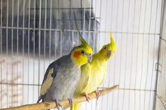Deux perroquets de corella image libre de droits
