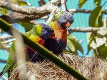 Deux perroquets de loris caressant sur la branche image libre de droits