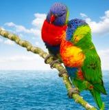 Deux perroquets de lorri Images libres de droits