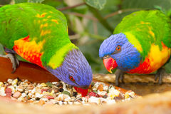 Deux perroquets de lorri Photos stock