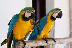 Deux perroquets de Macaw images stock