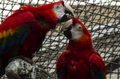 Deux perroquets de Macaw images libres de droits