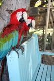Deux perroquets de Macaw Image libre de droits