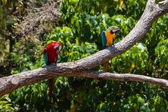 Deux perroquets de Macaw photos stock