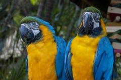 Deux perroquets de Macaw photo libre de droits