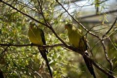 Deux perroquets de régent photos libres de droits