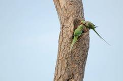 Deux perroquets (eupatria de psittacula) Images libres de droits