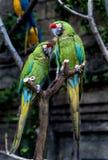 Deux perroquets jouants dans l'amour Photographie stock