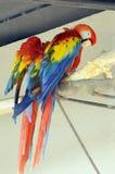Deux perroquets L'ara Photos stock