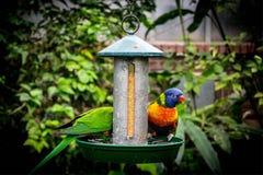 Deux perroquets mangeant leur graine image libre de droits
