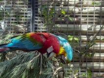 Deux perroquets mangeant synchroniquement sur une branche photos stock