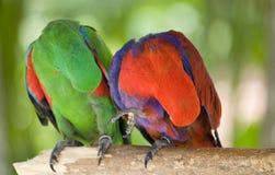 Deux perroquets rayent l'aile avec le bec image stock