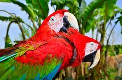Deux perroquets rouges d'ara Photos libres de droits