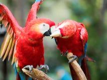 Deux perroquets rouges se nettoyant et des baisers français images libres de droits