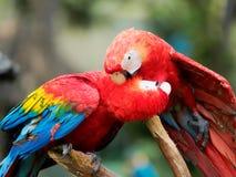 Deux perroquets rouges se nettoyant et des baisers français photographie stock