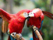 Deux perroquets rouges se nettoyant et des baisers français images stock