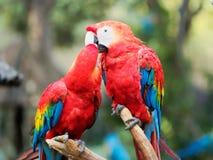 Deux perroquets rouges se nettoyant et des baisers français photos libres de droits