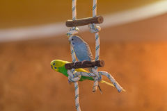 Deux perroquets se reposent sur un poteau dans l'appartement photographie stock libre de droits
