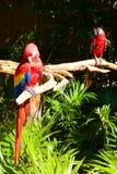 Deux perroquets sur l'arbre Images libres de droits