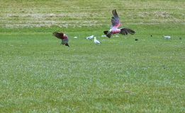 Deux perroquets sur l'herbe verte photos libres de droits