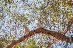 Deux perroquets sur une branche d'arbre au parc national de Grampians Photo stock