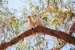 Deux perroquets sur une branche d'arbre au parc national de Grampians Images libres de droits
