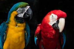 Deux perroquets tropicaux colorés images stock