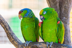 Deux perroquets verts images stock
