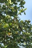 Deux perroquets verts, Costa Rica photographie stock libre de droits