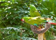 Deux perroquets verts dans une forêt tropicale photos stock