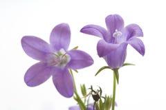 Deux petites Bells pourprées sur le blanc Photographie stock libre de droits