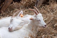 Deux petites chèvres blanches se trouvant sur le foin, caressant jusqu'à elles-mêmes à une ferme, famille va d'abord photos libres de droits