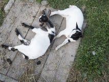 Deux petites chèvres d'en haut Photo libre de droits